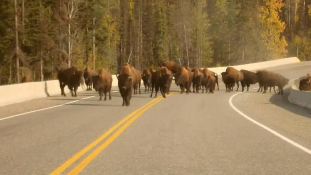 Buffalo have the right of way when you drive a Prius alone in Alaska