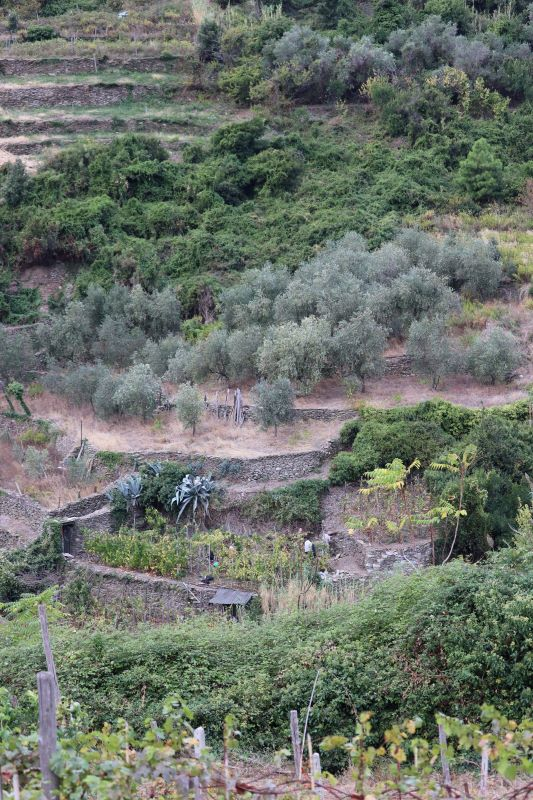 One of many olive groves along the paths of Cinque Terre