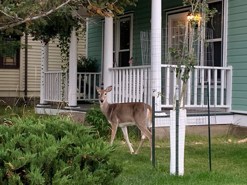 A deer poses on this front lawn.