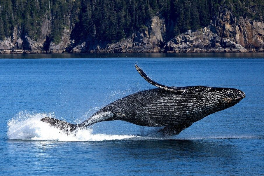 Whale over the water in Alaska Photo credit to Pixabay