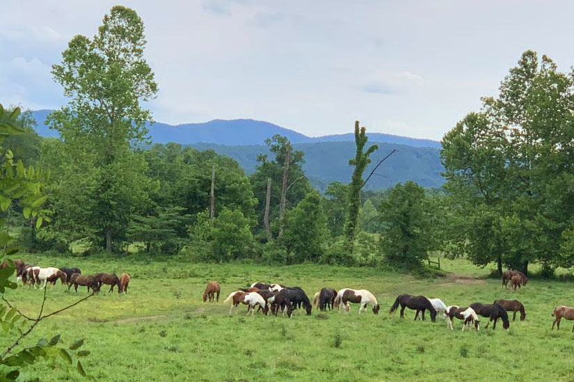 Horses in Cades Cove Have a Wide Mountain Valley to Roam