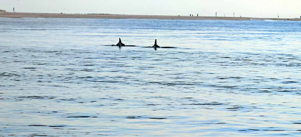 Dolphins feeding close to the Perdido Pass Bridge in Orange Beach