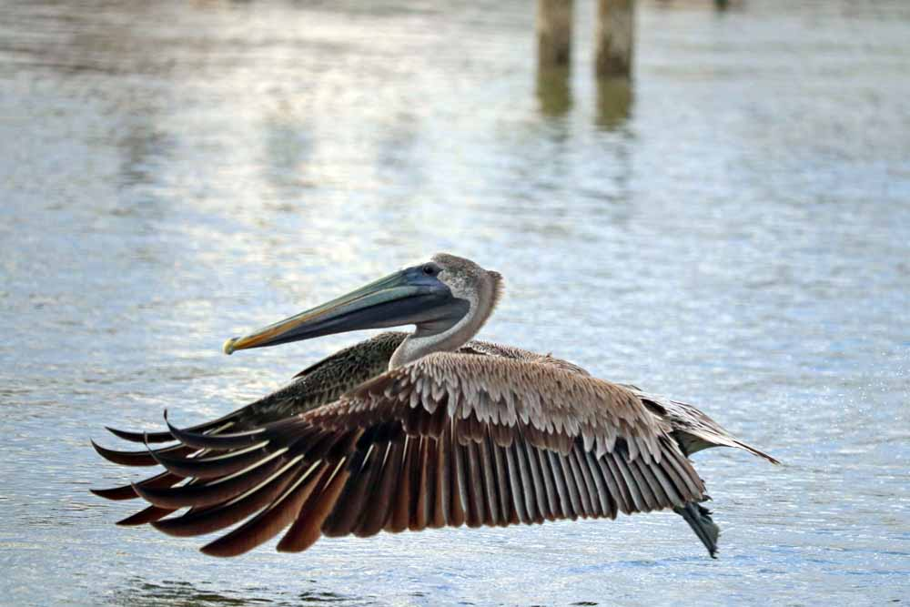 Pelicans are long-lived birds with an average lifespan of 15-25 years in the wild