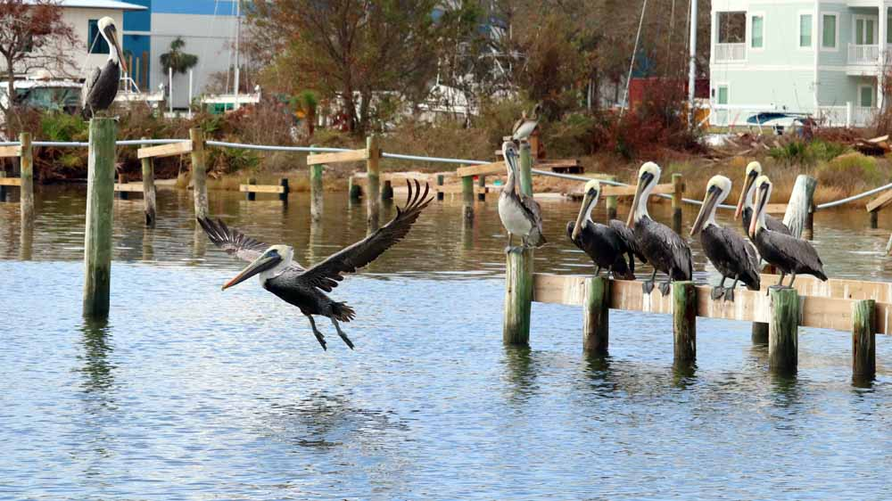 Seeing the 7-foot wingspan of a pelican taking off is a thrilling sight