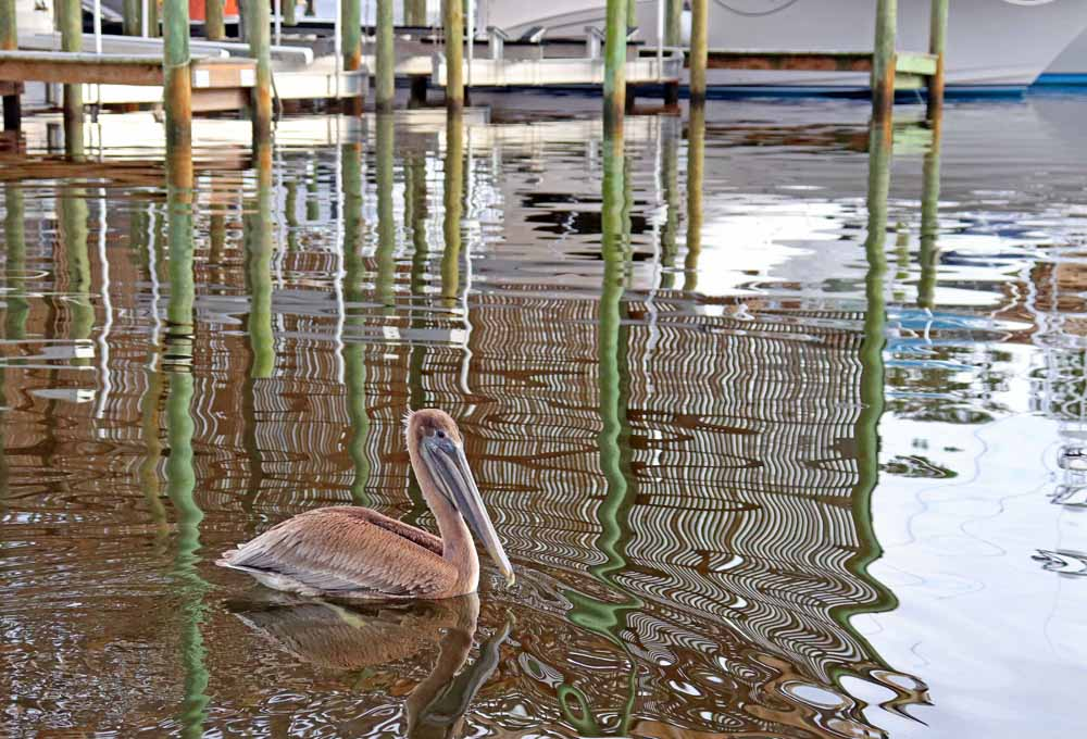 This Orange Beach Marina resident, a brown Pelican, bids us farewell on our Sunset Cruise