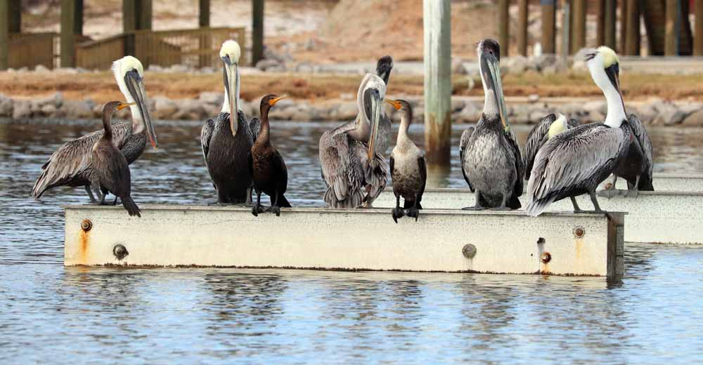 A gathering of pelicans allow the company of another breed of ducks to share a perch
